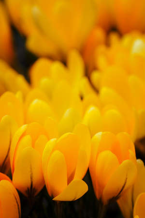 Crocus vernus - orange crocus flowers in spring.
