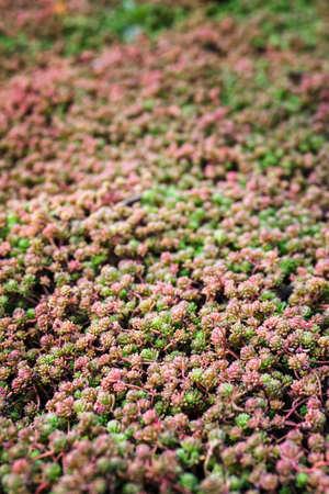 Carpet of rock garden plants. Stock Photo