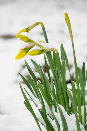 Yellow daffodil bud covered with snow. Stock Photo