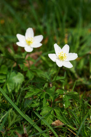 Two forest anemone flowers with green leaves.