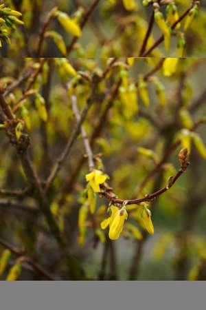 Unopened flower of golden rain on the plant.