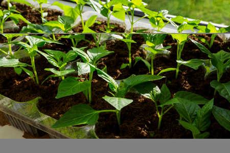 Pepper seedlings in a box by the window.