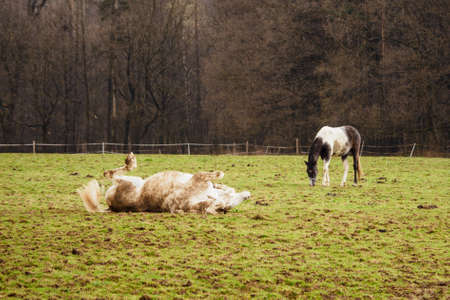 A brown-white horse rolling in the pasture near the forest.