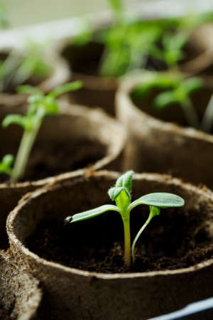 Green seedlings in soil and sowing pots.