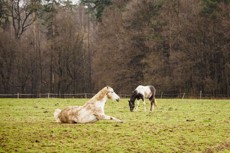 Brown and white horse lying on a pasture near the forest. Stock Photo