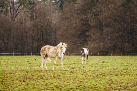 Brown and white horse grazing near the forest. Stock Photo