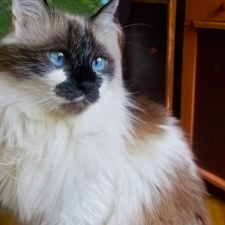 Beautiful Persian cat with blue eyes, sitting on a chair and looks into the distance.