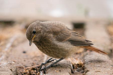 nestling: Nestling Redstart