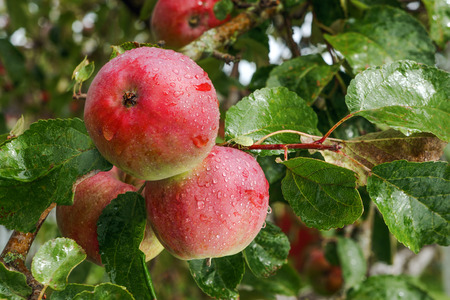 apfelbaum: Apfelbaum Lizenzfreie Bilder