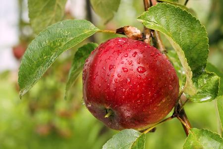 albero di mele: Melo Archivio Fotografico