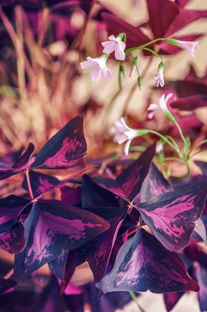 grower: Flowering houseplant by triangular purple leaves Stock Photo