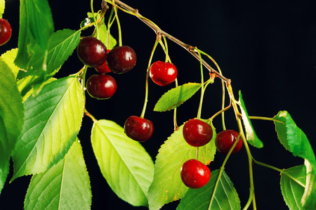 more mature: Ripe cherries hanging on a branch. Isolated on a black background.