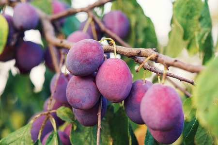 garth: Bunch of ripe plums on the tree