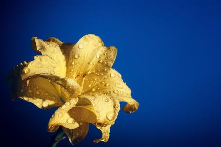 lilia: Flowers lily close up shot