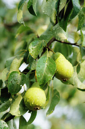 husbandry: Pear growing on a tree branch