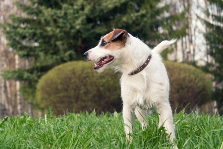 hunter playful: dog breed Jack Russell Terrier
