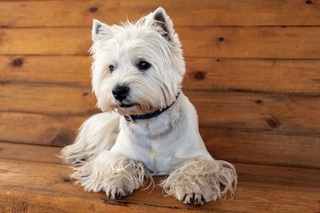 West Highland White Terrier sits on a wooden bench
