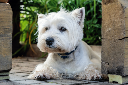 West Highland White Terrier is waiting for its owner 免版税图像