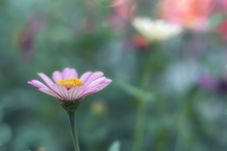 緑のぼやけた庭に美しいピンクのデイジーベリス perennis