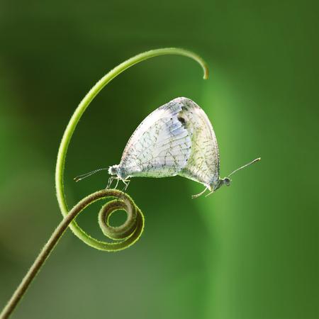 緑のシュートに掛かっている白い蝶 (Pieridae Leptosia ニーナ) を交配