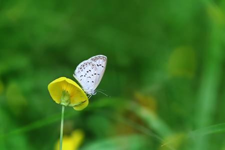 バタフライジジナオーティスインディカレッサーグラスブルーは黄色の花に座ります (アラチスピントイ)