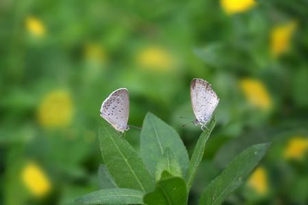 2匹の蝶ジジナオーティスインディカレッサーグラスブルーは黄色の花に座っています(アラチスピントイ)