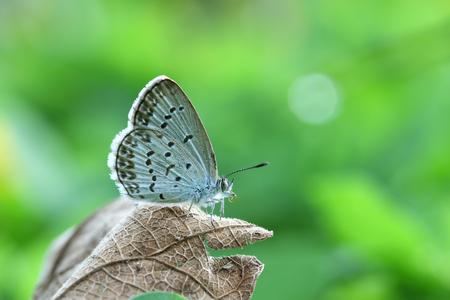 バタフライジジナオーティスインディカレッサーグラスブルーは、緑の背景を持つ茶色の乾燥した葉の上に座っています