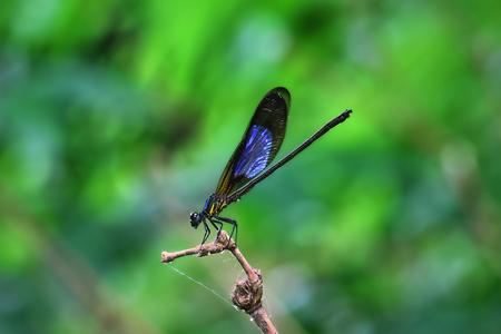 Damselfy  Dragon Fly  Zygoptera zit in de rand van bamboestam
