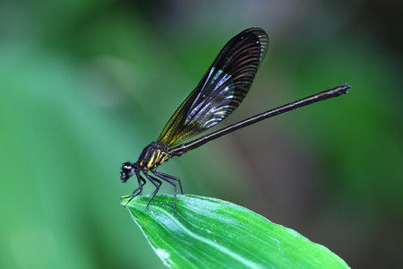 Gele Damselfy  Dragon Fly  Zygoptera-zitting in de rand van groen blad