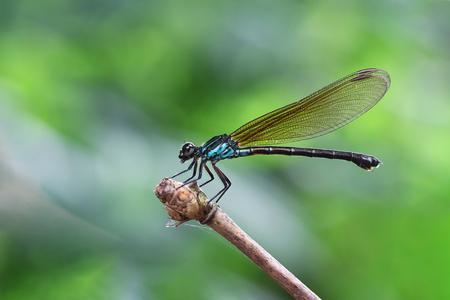 ブルー Damselfyドラゴン フライ均翅亜目竹の茎の端に座っています。