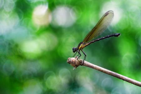 イエローダムシードラゴンフライジゴプテラは、バックゴーンとして美しいマイヤーボケと竹の茎の端に座って