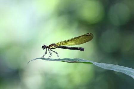 緑の葉の端に座っているイエローダムシードラゴンフライジゴプテラ