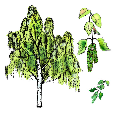 Leaves of birch, leaves and tree, catkins of birch.Vector illustration