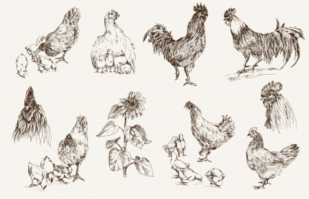chicken breeding  set of vector sketches  イラスト・ベクター素材