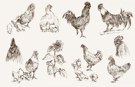 cockscomb: chicken breeding  set of vector sketches Illustration