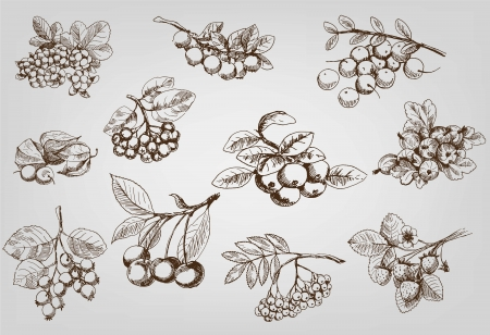 chokeberry: berry  set of vector sketches Illustration