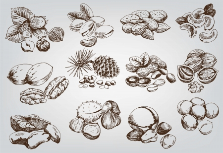 filbert nut: hazelnuts  set of vector sketches Illustration