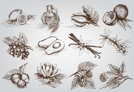 Avocado: vector esboza ingredientes naturales utilizados en farmacología
