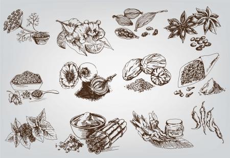 koriander: természetes fűszerek összeállítása vektor vázlatok Illusztráció