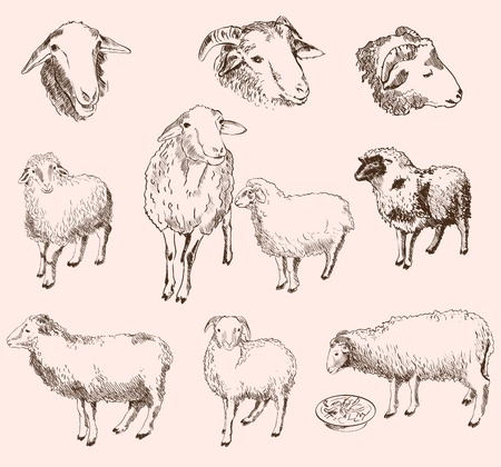 sheep breeding.