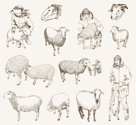 sheep wool: sheep breeding  set of vector sketches on a white background Illustration