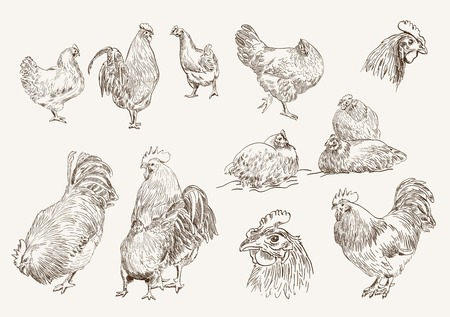 chicken breeding. collection of vector designs