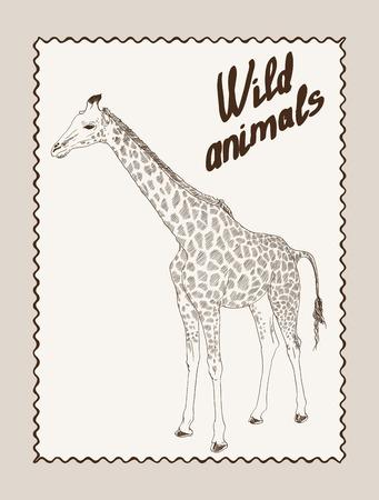 camelopardalis: giraffe sketch on grey background Illustration