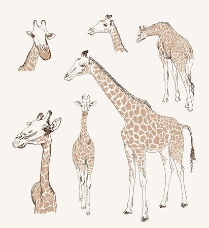 camelopardalis: giraffe set of sketch on grey background