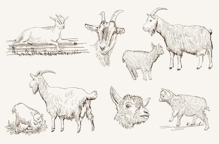cabra: esbozo de una cabra hecho a mano