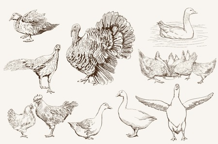 aviculture  set of vector sketches on a white background Illustration