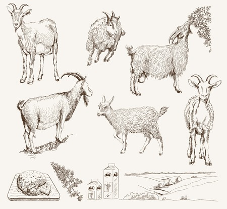 domestic goat: vector sketch of a goat made by hand