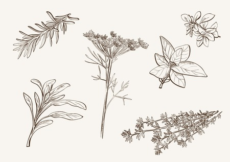 herb garden: set of vector sketches of herbs used as spices