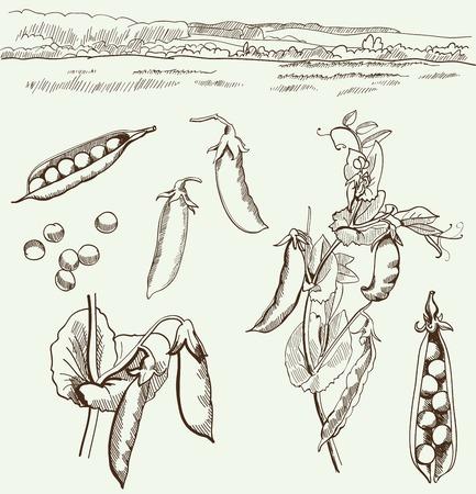 leguminosas: guisantes. la familia de las leguminosas. Conjunto de dibujos vectoriales sobre un fondo blanco Vectores