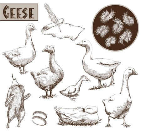 breeding geese. set of vector sketches. Hand drawn illustrations Vector